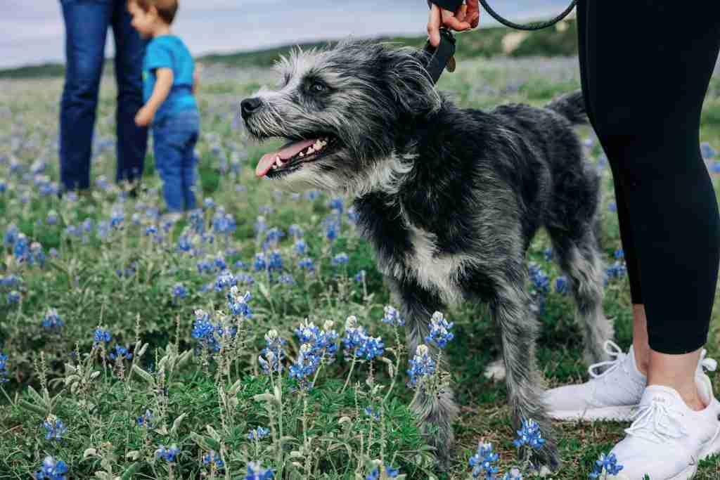 second home in the southwest dog in bluebonnet field